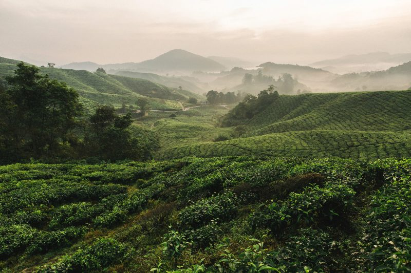 01-cameron-highlands-tea-plantation